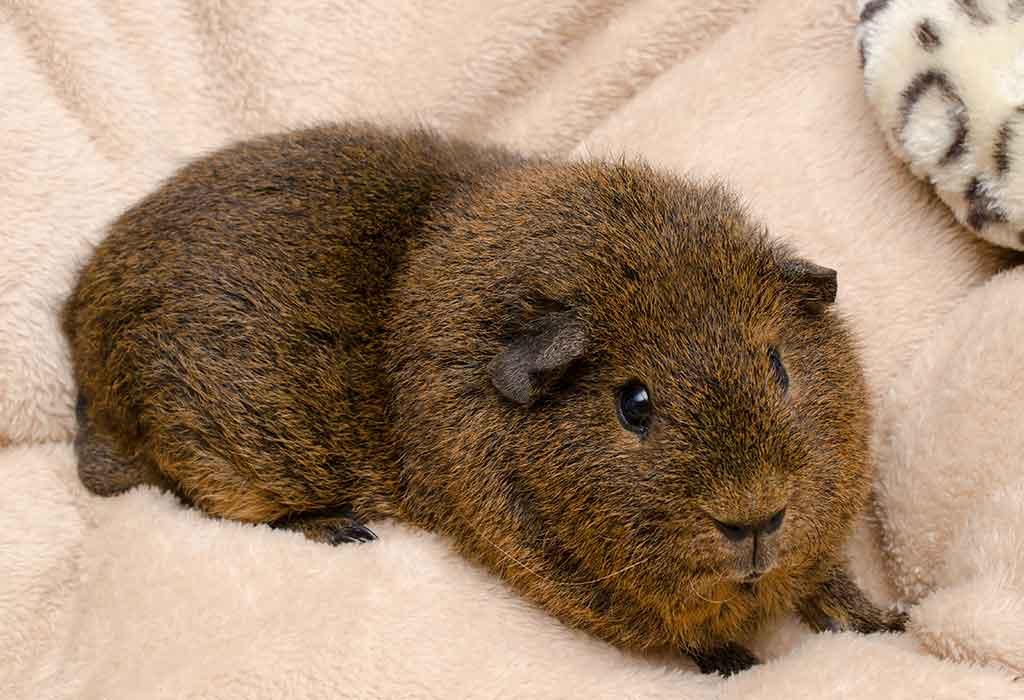 Rex Guinea Pig Breed