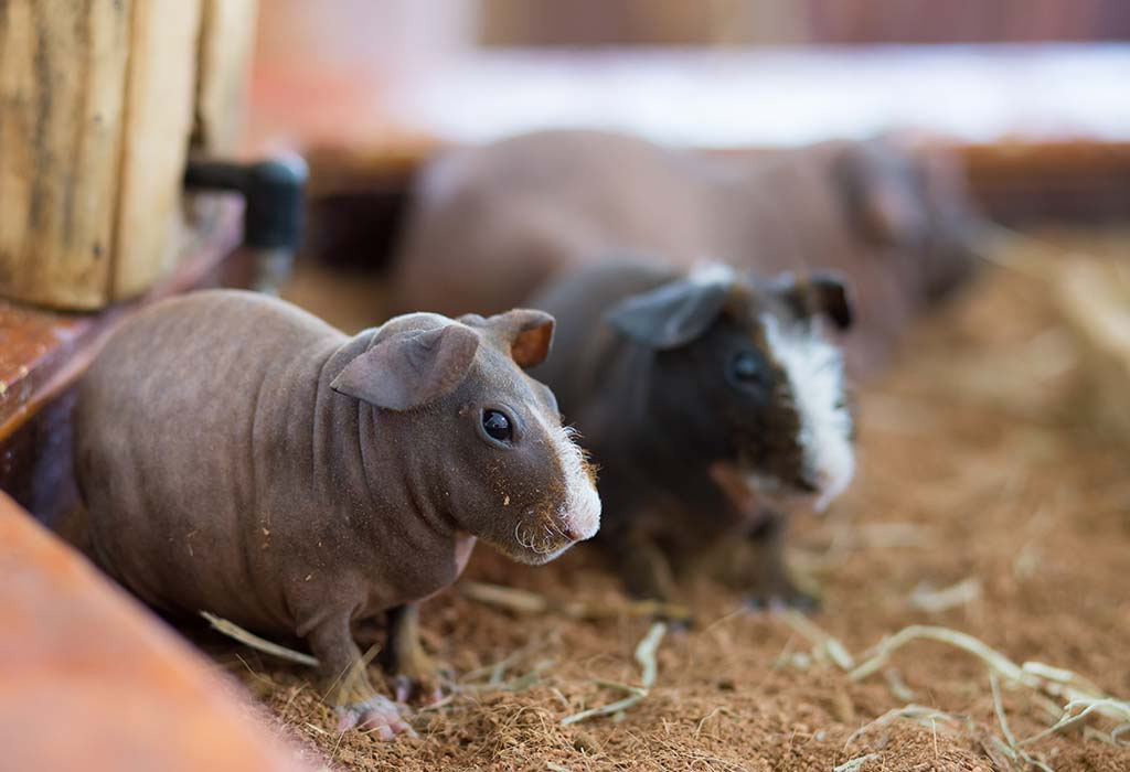 Hairless Guinea Pig Breed