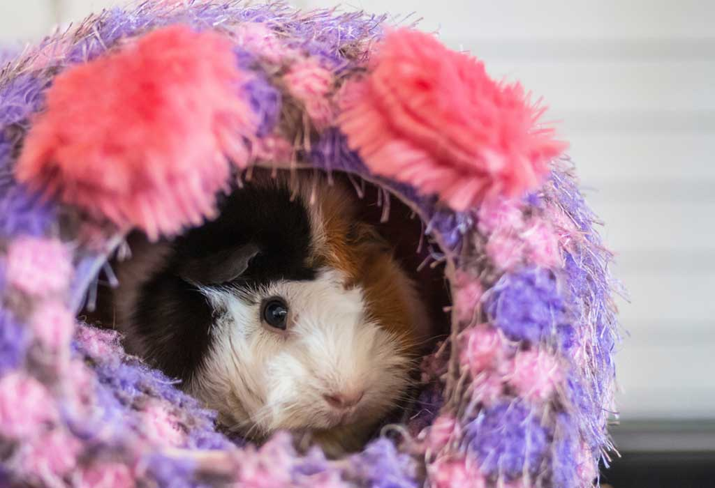 Abyssinian Guinea Pig Breed