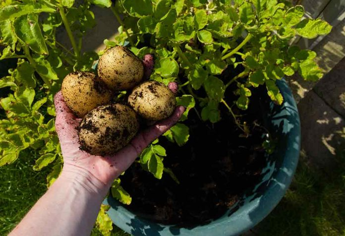 HOW TO GROW POTATOES IN YOUR OWN GARDEN - PLANTING AND GROWING TIPS