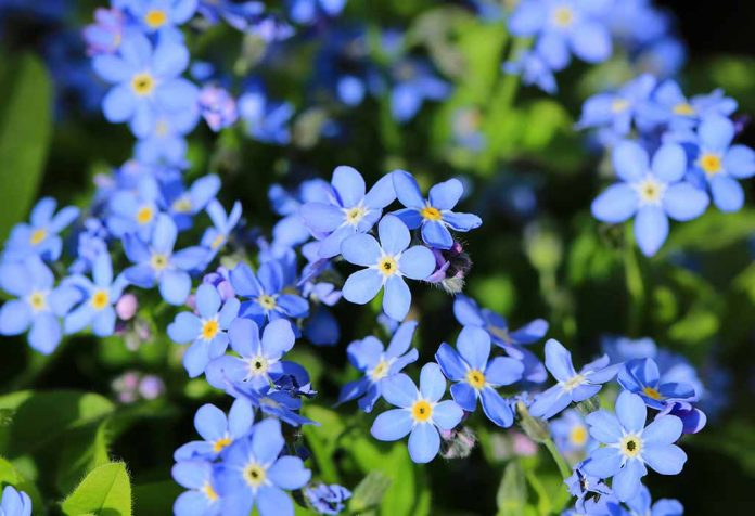 How to Grow Forget-Me-Not Plants In Your Own Garden
