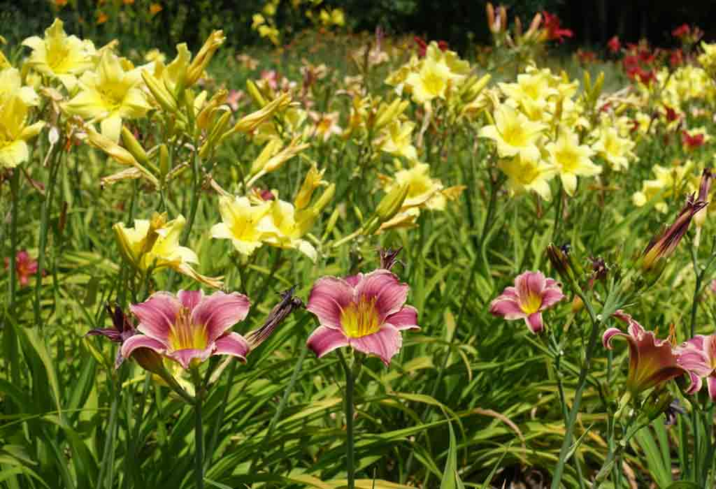 SELECTING A PLACE FOR PLANTING DAYLILIES