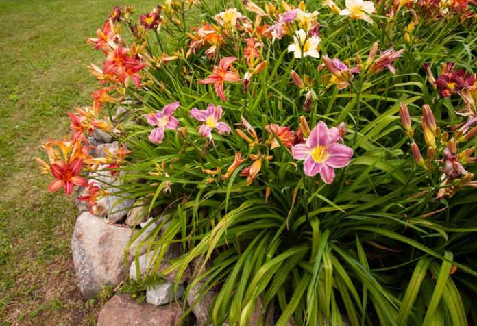 TIPS TO GROW DAYLILY FLOWERS IN YOUR OWN GARDEN