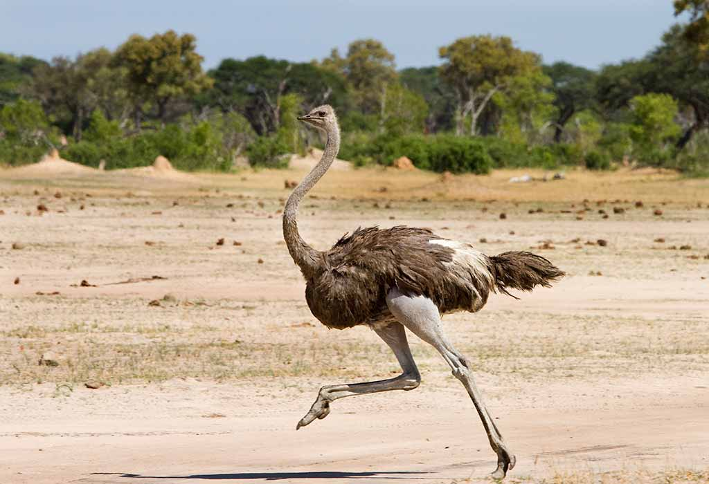 Cool Ostrich Facts for Kids